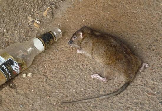 新西兰慈善家为鼓励学生捉老鼠提供免费啤酒