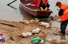 江西南昌赣江连日漂浮死猪 已打捞起百余头
