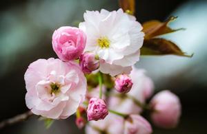 风光摄影:樱花祭