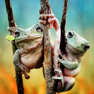 是真的?印尼青蛙牵手秀恩爱