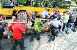 """重庆20名男子抬3吨重""""神木""""过街"""