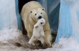 北极熊幼崽首秀怯场被妈妈叼出窝 获拥抱鼓励