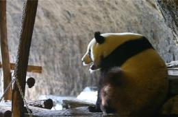 """比利时中国大熊猫""""星徽""""和""""好好""""即将公开亮相"""