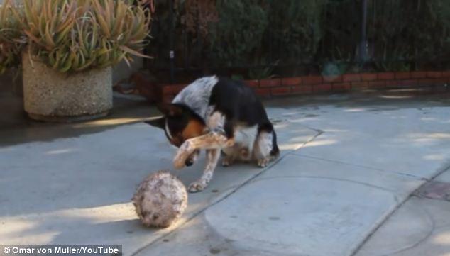美牧羊犬听主人数字指令玩球显聪明