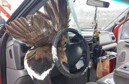 美女子驾车途中被飞来大鸟撞碎挡风玻璃