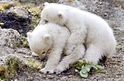 德双胞胎北极熊草地上打滚玩闹