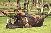 阿根廷驯马人借瑜伽驯化野马