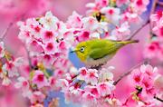 世界各地浪漫樱花盛开美景