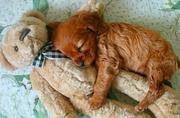 可爱幼犬抱玩偶酣睡萌照
