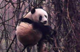 四川青川野外再次发现大熊猫