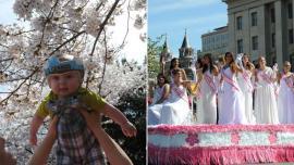 美国华盛顿数千株樱花绽放 樱花节活动吸引游人如织