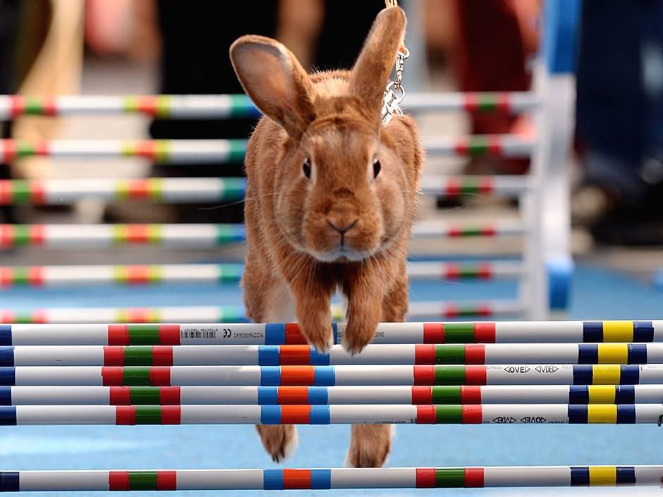 捷克举行兔子跨栏大赛喜迎复活节