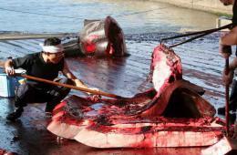 民调显示6成日本受访民众赞成捕鲸计划(图)