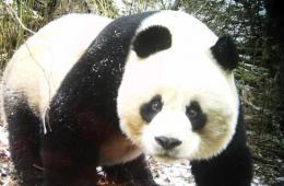 四川黄龙再次拍到野生大熊猫