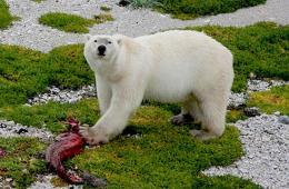 """濒危北极熊为适应气候变化该吃""""杂食"""""""