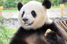 云南看电视解闷大熊猫情绪恢复 又见卖萌