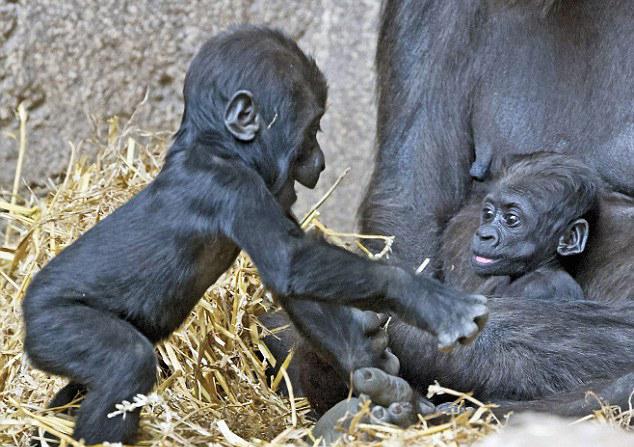 德动物园猩猩亲子互动上演温馨一幕