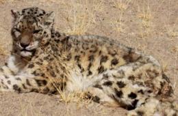 西藏罕见雪豹袭击羊圈被捕 村民将其放归自然