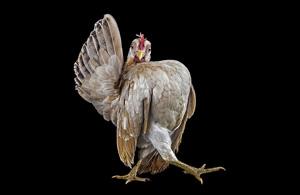 动物摄影:公鸡
