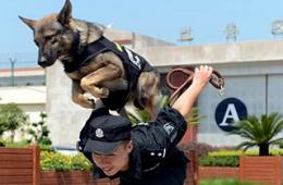 警犬和狱警搭配作战身姿威武