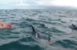"""英游泳赛选手遭遇鲨鱼 海豚结队""""护航""""完成比赛"""