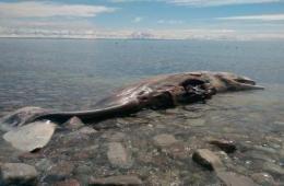 加小镇为搬离海滩死鲸想出网上拍卖妙招