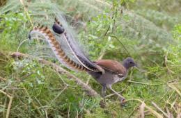 一音定乾坤!澳琴鸟用惊人嗓音模仿秀来求偶