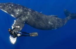 """夏威夷潜水员与近16米长座头鲸亲密""""握手"""""""