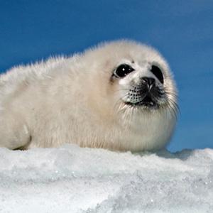 摄影师蹲守冰层拍海豹幼崽