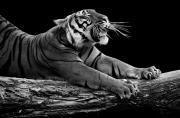 黑白肖像:凶猛动物