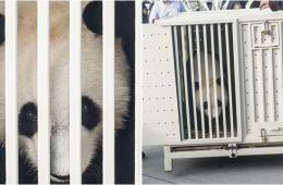 中国租借给马来西亚大熊猫抵达吉隆坡