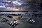 万只海龟海滩产蛋壮观场景