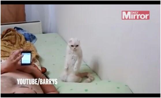 """【环球网综合报道】谁说动物没有爱国情怀,据英国《镜报》5月28日报道,俄罗斯一只可爱的猫咪近日爆红网络,起因是它的主人在播放俄罗斯国歌时,录下了它专心听歌的视频,视频中猫咪的形象十分传神可爱。   据报道,当时猫咪的主人躺下用手机播放俄罗斯国歌,猫咪非常有趣地在旁边用后腿站立着听歌,丝毫不被主人的嬉笑声打扰,专注的样子非常可爱。   网友起哄称,""""要是俄罗斯总统普京看到这只猫咪,一定喜欢得不得了"""",""""不如早日把这只俄罗斯史上最爱国的猫咪送到克里姆林宫吧&rdquo"""