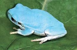 韩国发现淡蓝色青蛙 存在概率仅五万分之一(图)