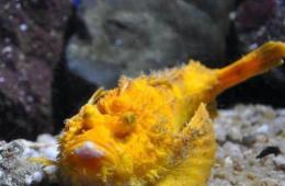 日本展出罕见老虎鱼 通体金黄引游客围观(图)