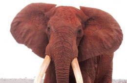肯尼亚象王因巨型象牙惹祸 连牙带鼻被割掉惨死