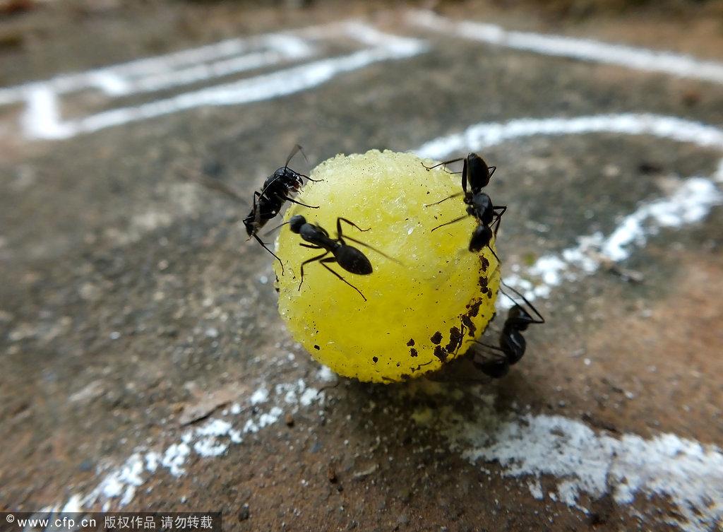 蛋糕搬鸭肉_蚂蚁搬虫虫_蚂蚁搬蚂蚁-007鞋网东西能和薯粉一起吃吗图片