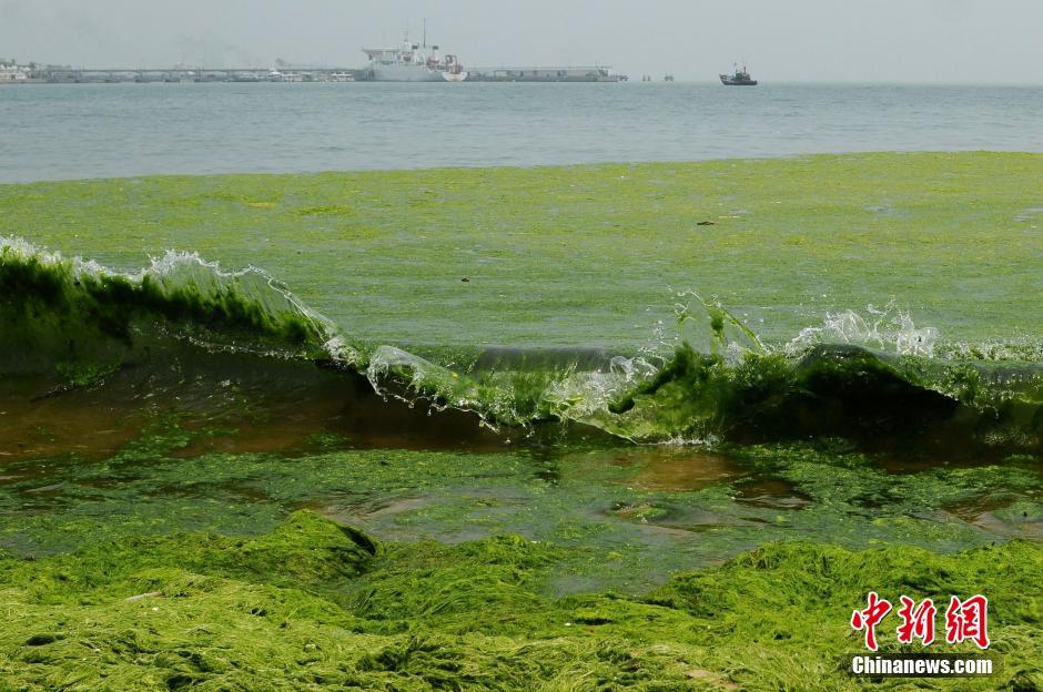 浒苔再次登陆胶东半岛 青岛海滩如草原(图)