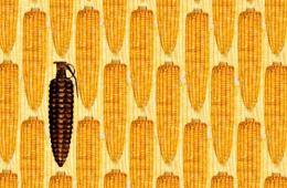 法专家再发报告称转基因玉米致癌 论文曾被撤回