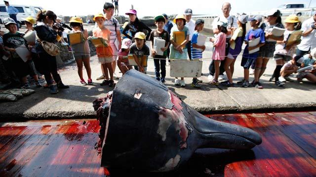 日本屠鲸厂邀当地小学生观宰杀过程(图)