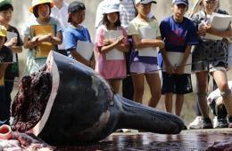 日本屠鲸厂邀小学生观摩宰杀过程