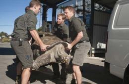 悉尼动物园为象龟称重 166公斤身躯需四壮汉帮抬