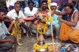 印度民众为狗狗举行婚礼祈雨
