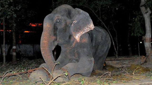 印度一大象被铁链禁锢长达50年 获救之日流泪