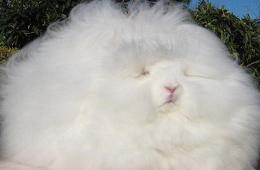 美国一长毛兔体毛长达25厘米 或破世界纪录