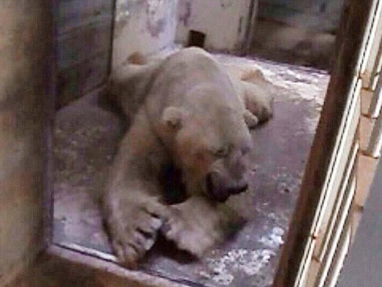悲伤北极熊受动物园40度高温折磨 患精神病(组图)