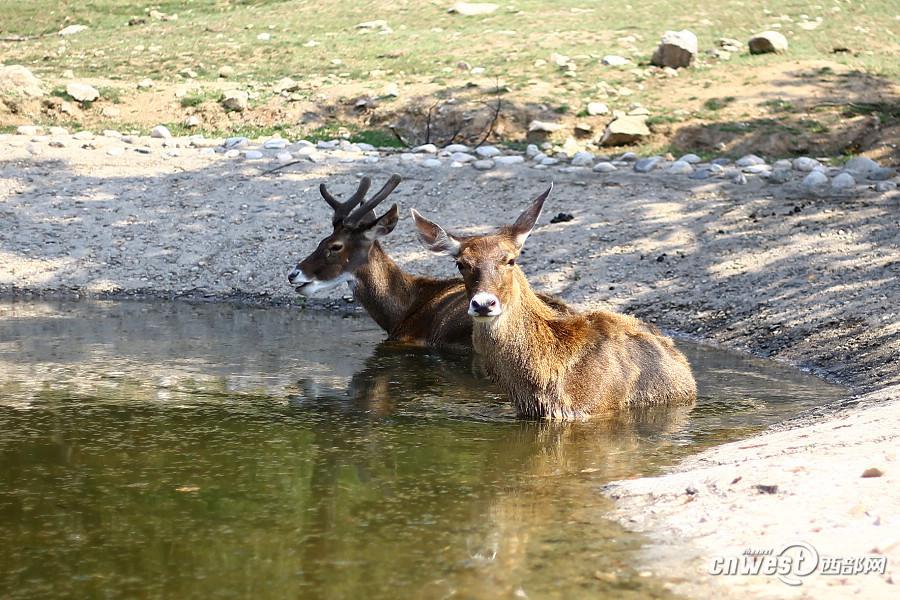 西安持续高温天气 动物冲凉泡澡吃西瓜(图)