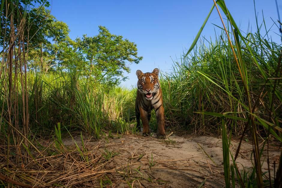纪实摄影:永远的老虎