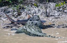 澳大利亚游客目睹鳄鱼活吞鲨鱼场面