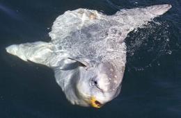 摄影师加州海岸捕捉到罕见翻车鲀鱼水面觅食照